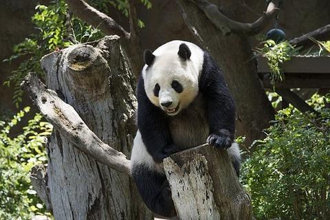 panda-739331__340