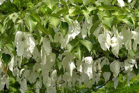 handkerchief-tree-1432165__340